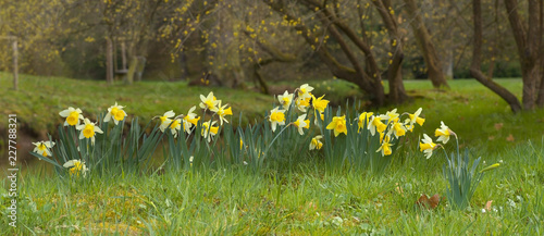 Yellow blossoms of a daffodil - narcissus in the park Canvas Print