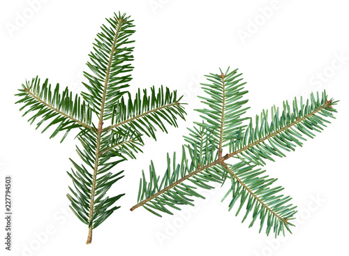 A fir tree Abies sibirica branch is isolated on a white background Canvas Print