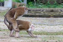 Two Thai Red Face Monkeys Maki...