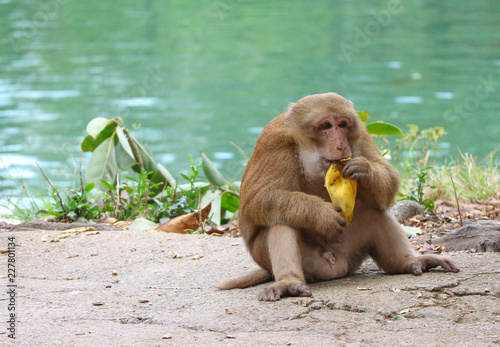Foto op Plexiglas Aap Thai wild red face monkey sitting on the ground and eating banana.