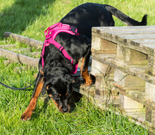 Rottweiler Puppy Nose Work On Wooden Pallet