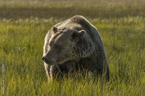 Photo  Brown bear eating grass in meadow;  Lake Clark NP;  Alaska