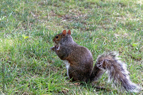 Squirrel sitting in grass in Central Park, New York City