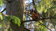 Squirrel Climbing On Trees.