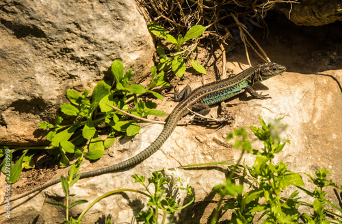 Photographie  Lizard on ruins of ancient Greek tomb