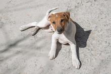 Jack Parson Terrier Lies In Th...