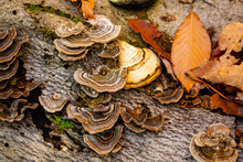 Bracket Fungi Growing On A Tree Trunk In The Forest
