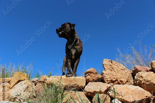 Fotografía  chien cane corso en haut d'un mur en pierre