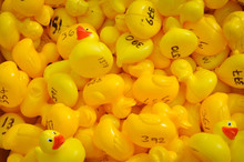 Yellow Rubber Ducks Ready To Race
