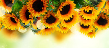 Fresh Sunflowers Over Green Garden Background Banner With Copy Space