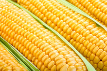 Close-up View Of Ripe Raw Corn Cobs