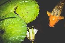 Koi Fish And Flower