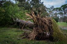 Tree Fallen After Hurricane Mi...