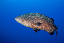 Large Grouper Underwater