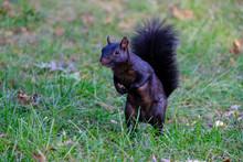 Black, Melanistic Squirrel Sta...
