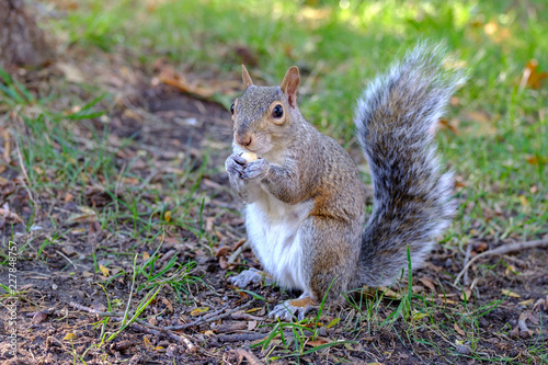 Spoed Foto op Canvas Eekhoorn Squirrel eating nut on the ground