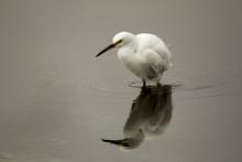 Wading Snowy Egret 2