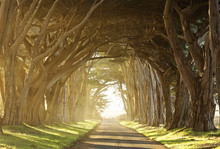 Long Tree Tunnel Through Foggy Trees Near San Francisco