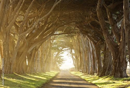Fototapeta long tree tunnel through foggy trees near San Francisco