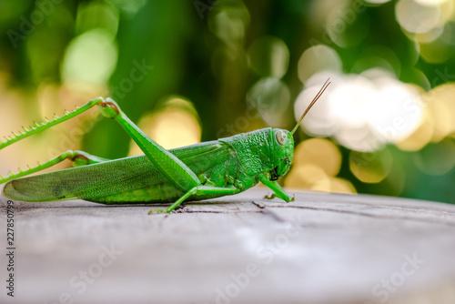 Green grasshopper in the garden Wallpaper Mural