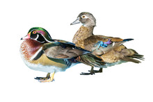 Male Wood Duck And Female Or C...