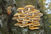 Cluster Of Golden Scalycap Mus...