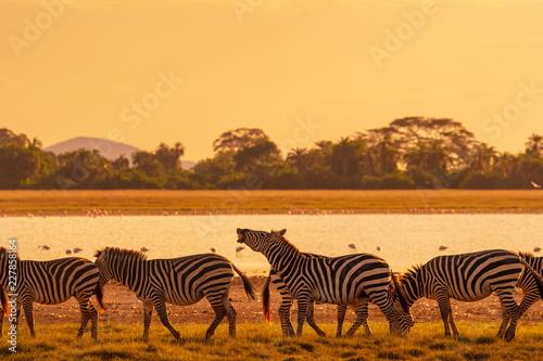Fototapety, obrazy: Zebra in sunset