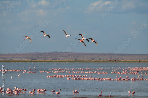 flamingo group in the lake