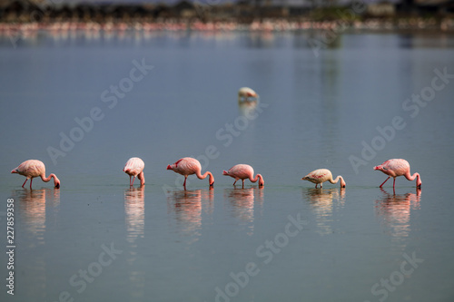 flamingo group in the water