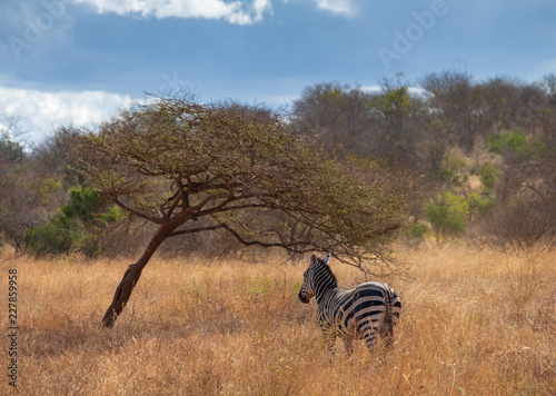 Deurstickers Afrika Zebras under trees