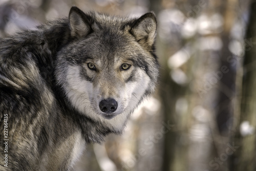 Tuinposter Wolf Timber Wolf (Gray Wolf or Grey Wolf) in the Snow