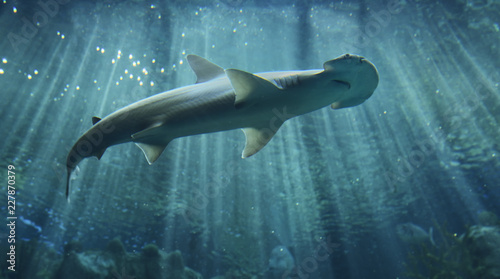 Obraz Hammerhead shark - fototapety do salonu