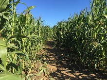 Corn Maze Row. Corn Mazes Have Become Popular Tourist Attractions In North America. Halloween Corn Maze Fun. Getting Lost In The Corn Maze. A Corn Maze Set Against A Blue Sky. October Activities.