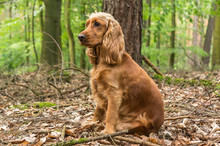 English Cocker Spaniel Dog In ...