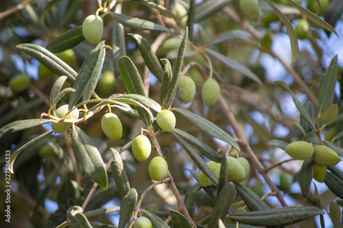 Keuken foto achterwand Olijfboom Green olives riping on olive tree close up