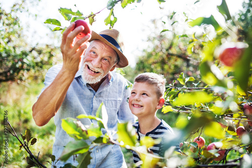 Fototapeta A senior man with grandson picking apples in orchard in autumn. obraz