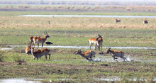 Red Lechwe Running And Playing