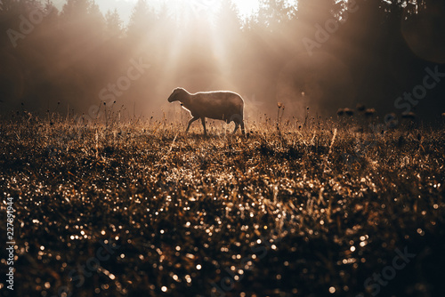 Tuinposter Schapen Lost sheep on autumn pasture. Concept photo for Bible text about Jesus as sheepherder who cares for lost sheep