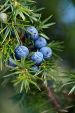 Close-Up Of Juniper Berries Gr...