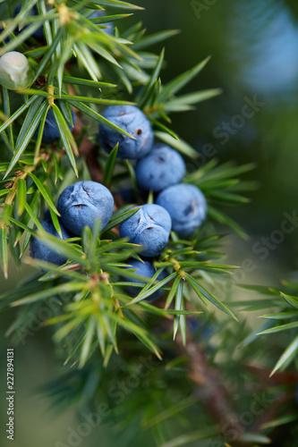 Fototapeta Close-Up Of Juniper Berries Growing On Tree obraz