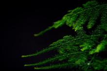 Asparagus Plumosus With Bright...