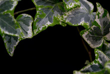 English Ivy With Brightly Rich Green Leaves On A Dark Background. Hedera Helix