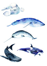 Watercolor Paintings Poster. Whale Animals: Narwhal, Blue Whale, Beluga Whale Shark, Sketch