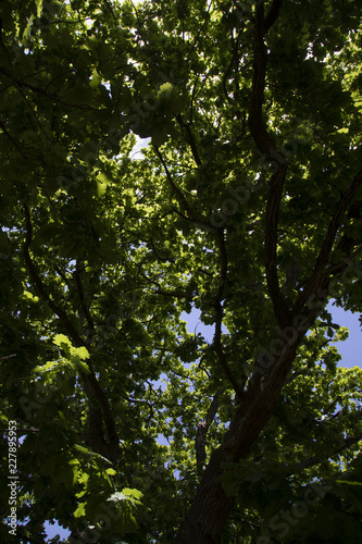 Green leaves of natural forest tree, Australia Canvas Print