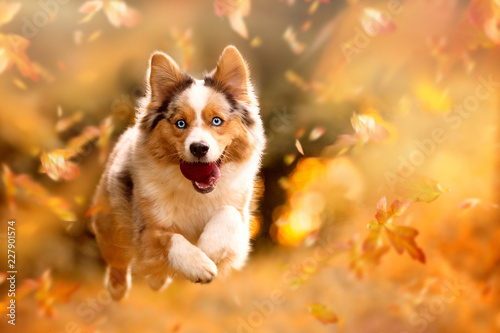 Dog, Australian Shepherd jumping in autumn leaves Canvas Print
