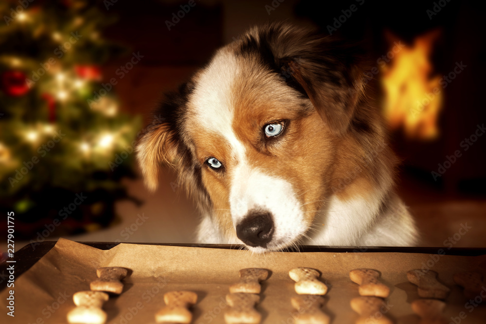 Dog; Australian Shepherd steals dog biscuits from baking tray