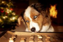 Dog; Australian Shepherd Steal...