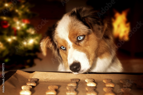 Fotografia Dog; Australian Shepherd steals dog biscuits from baking tray