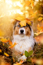 Dog, Australian Shepherd  Fall...