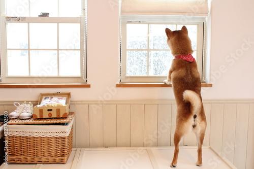 Fotografie, Obraz  窓から雪を見る柴犬